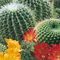 Bibit / Benih Bunga Cactus Flowers of The Desert
