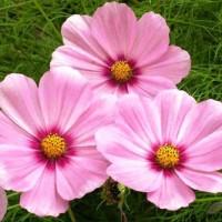 Benih Biji Bibit Bunga Cosmos Beauty Gloria