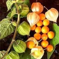 benih/biji/bibit buah ciplukan kuning