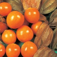 benih/biji/bibit buah ciplukan orange