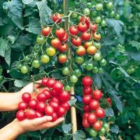 Jual Benih Biji Tomat Cherry Merah Murah