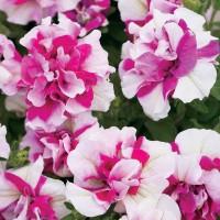 Biji Benih Bibit Bunga Petunia Double White Pink