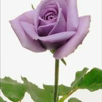 Jual Bibit Mawar Purple Lavender Murah