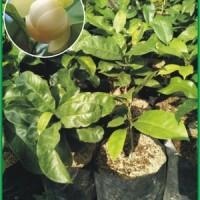 Magnolia Coco (Cempaka Gondok)