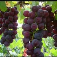 Bibit Tanaman Buah Anggur Ungu & Hijau