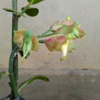 Bunga Cucak Rawa