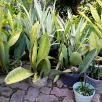 tanaman hias lidah mertua