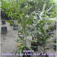 harga Bibit Pohon Macadamia (kacang Macadamia) Tokopedia.com