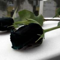 Benih Mawar Hitam / Black Rose (Import)