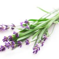 Bibit Parfum Lavender Pine Fragrance Oil (100 cc)