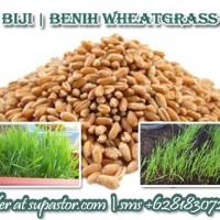 Benih Bibit Wheatgrass Seed