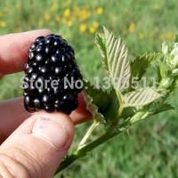 Benih Buah Beri Hitam / Blackberry Thornless Import