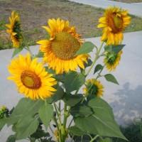 Benih Bunga Matahari (isi 250 Biji)