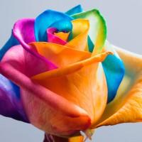 Benih Biji Mawar rainbow rose colorfull bunga pelangi seed