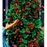 Benih Buah Stroberi Rambat / Climbing Strawberry Import