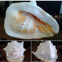 harga Kerang Laut Koleksi Pribadi Tokopedia.com