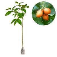 harga Kebun Bibit Tanaman Kacang Amazon Tokopedia.com