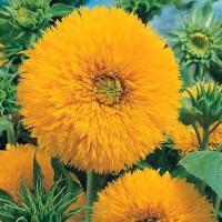 Jual biji benih bunga sunflower tedy sungold F1 imort UK Murah
