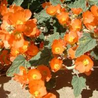 Biji Benih Apricot Mallow (Tahan Panas) [40 Biji]