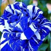 Benih Bibit Biji Bunga Mawar Rose Blue Dragon