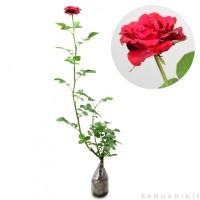 harga Bunga Mawar Merah Tanpa Duri Tokopedia.com
