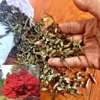 Benih Biji Bibit Japanese Red Maple (Irohamomiji)