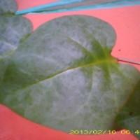 obat jerawat herbal organik tradisional alami daun tanaman binahong