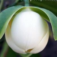Tanaman Bunga Cempaka Gondok Putih/Tulang