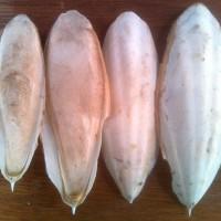 Tulang Sotong Asinan Mineral Tambahan Pada Burung Pemakan Bijian
