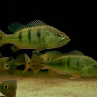 Peacock bass monoculus