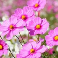 Benih / Bibit / Biji - Bunga Cosmos Gloria Flower Seeds - IMPORT