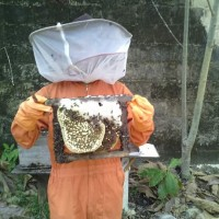 Jual Madu bantal, madu asli hutan kalimantan Murah