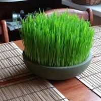 Bibit / Benih /Seeds Wheatgrass Rumput Gandum Meningkatkan Kesehatan