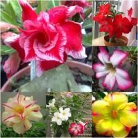 harga biji benih tanaman bunga adenium obesum  VALENTINE ROSE mix, Tokopedia.com
