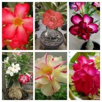harga biji benih tanaman bunga Adenium Obesum Desert Rose Blue-with mi Tokopedia.com