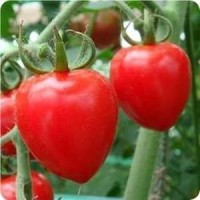 biji benih buah Tomat Pramita