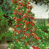 harga biji benih tanaman buah  Strawberry Climbing Rambat Tokopedia.com