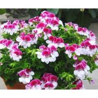 Benih Bibit Biji Bunga Pink White Geranium