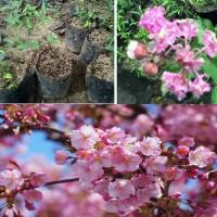 Jual Paket 2 Bibit Pohon Bunga Sakura-Sakura Pink Murah
