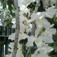 Anggrek Dendrobium Anosmum Gigantea Alba