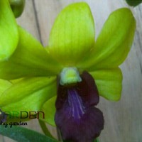 harga Anggrek Dendrobium 3 / Orchid / Bibit Tanaman Hidup Bunga Hias Tokopedia.com