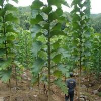 BIbit jati solomon 1 paket 100 pohon