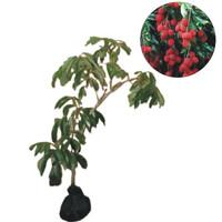 bibit buah leci merah/lechee china