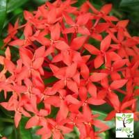 dwarf red ixora / ixora williamsii red