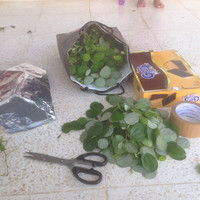 100 gram daun BIDARA Arab kaya manfaat