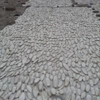 Tulang Sotong ukuran besar putih bersih kering
