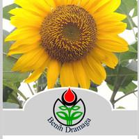 Benih Bunga Matahari IPB BM1