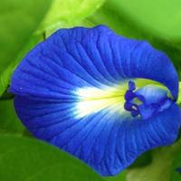biji benih tanaman bunga Kembang telang (Clitoria ternatea).