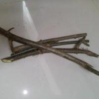 Bibit Stek Batang Tanaman Pohon Daun Cincau Hijau