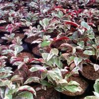 tanaman sambang darah, tanaman hias sambang dara